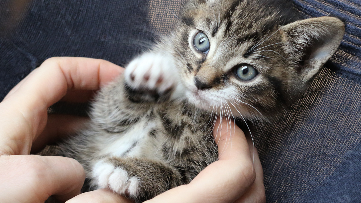 Banner image for blog post: How to Look After a Young Kitten