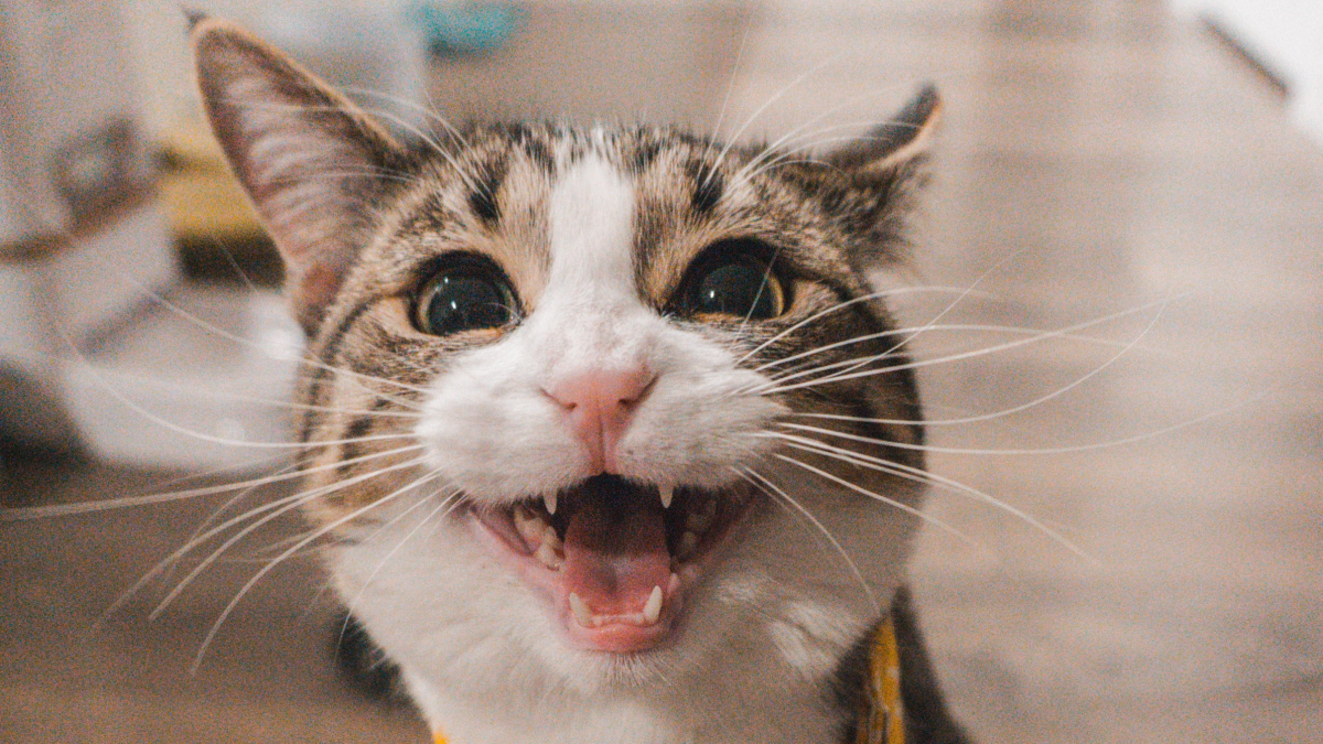 Banner image for blog post: What is your cat's meow mean?