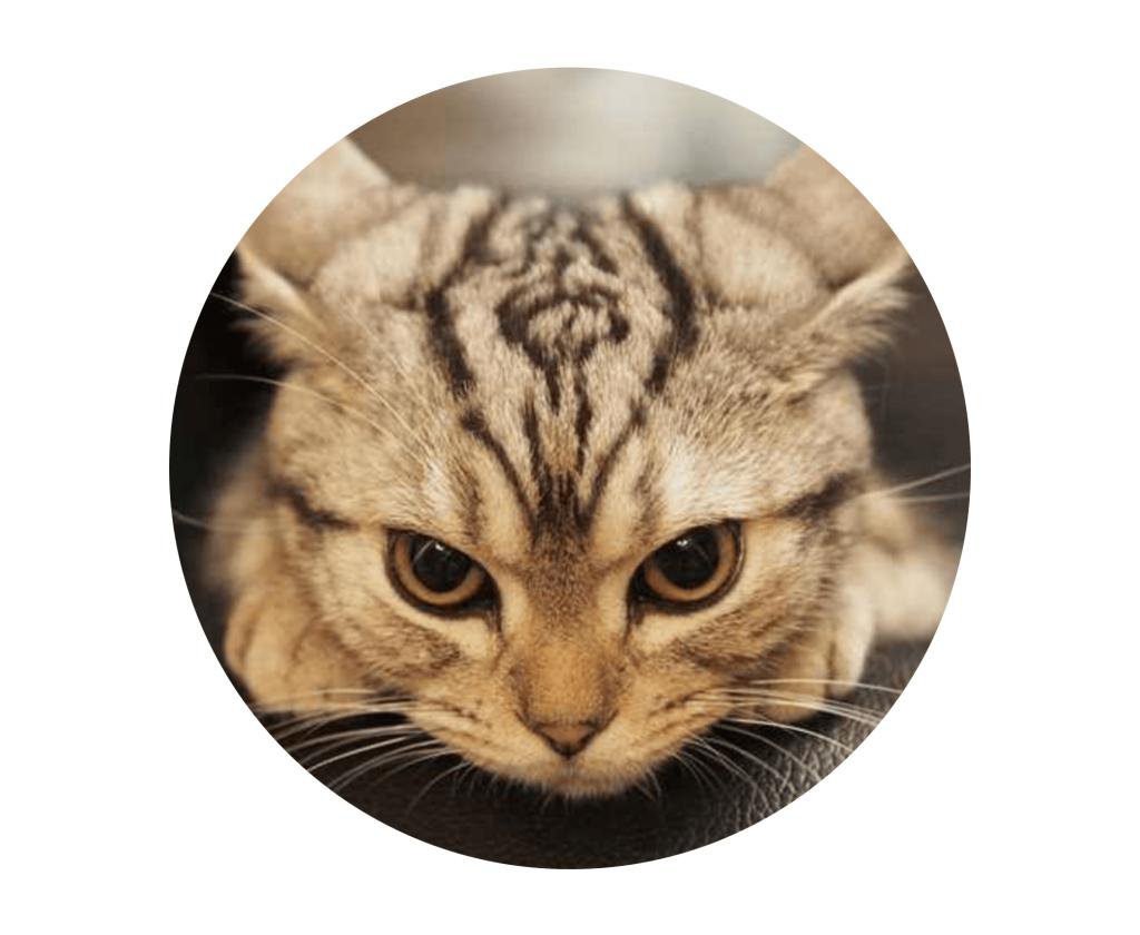 Gesichtsausdruck einer gestressten Katze