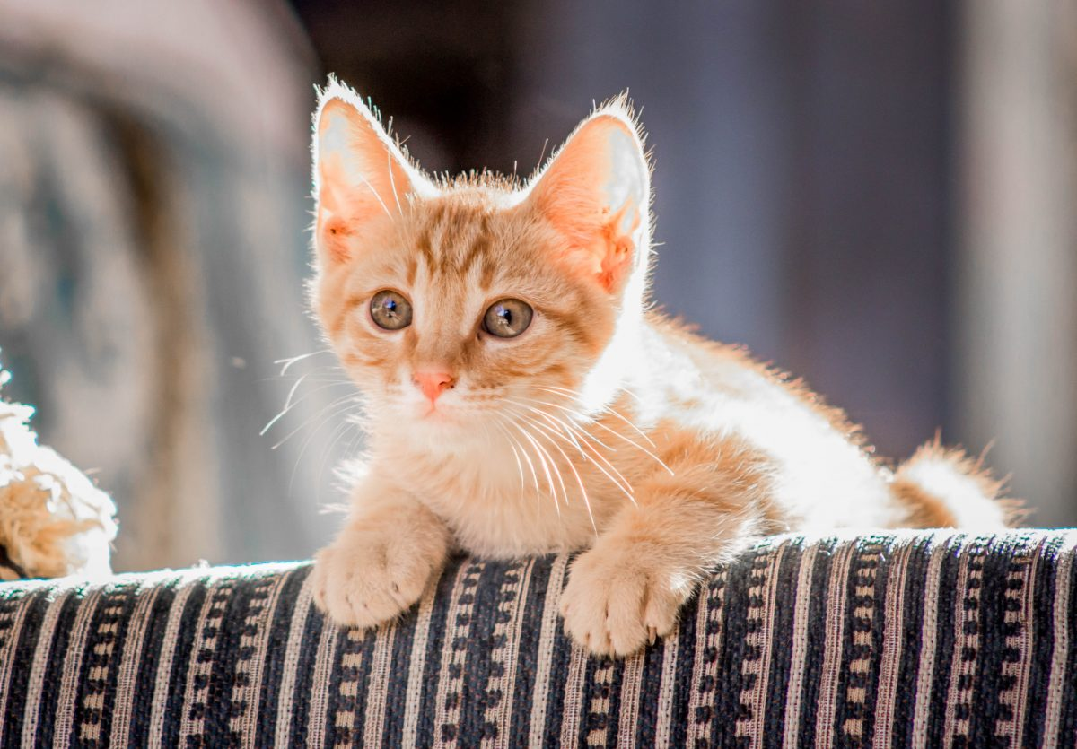 Banner image for blog post: How long can you leave a kitten on their own?