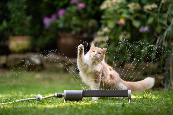 1 year old cream tabby ginger maine coon cat playing with lawn sprinkler water fountain outdoors in the garden raising it's paw (1 year old cream tabby ginger maine coon cat playing with lawn sprinkler water fountain outdoors in the garden raising it'