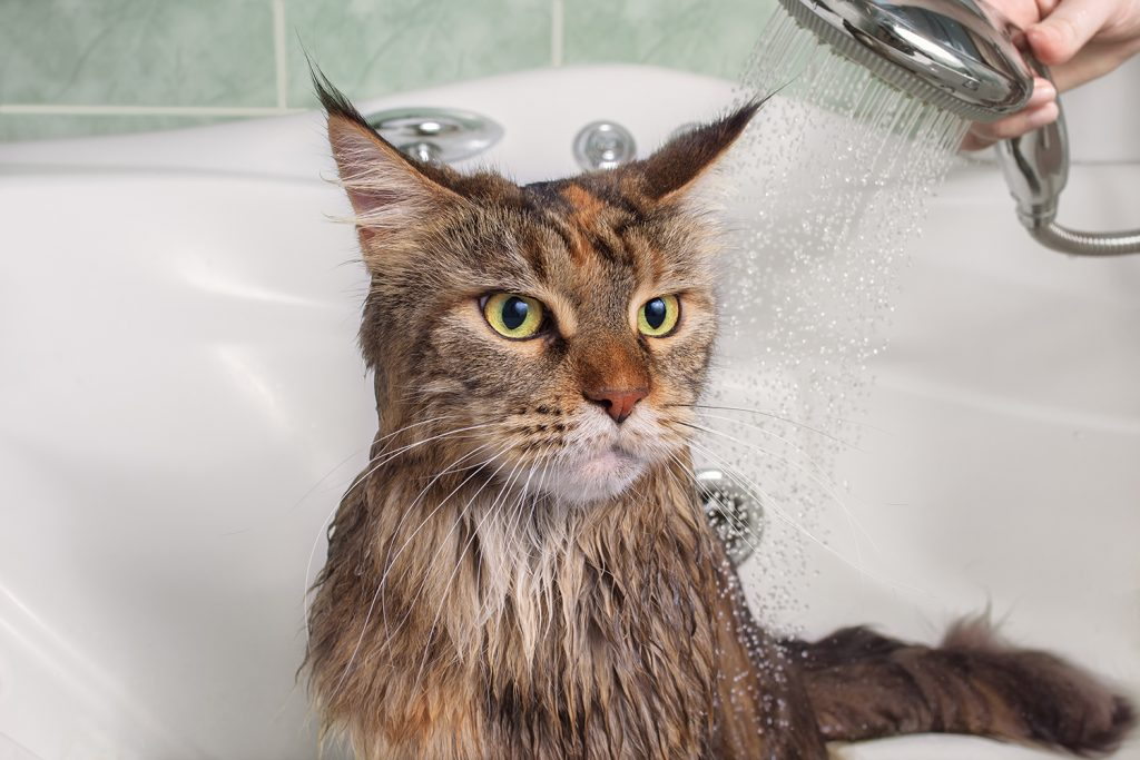 Some cat breeds like the Maine Coon enjoy water and baths more than others