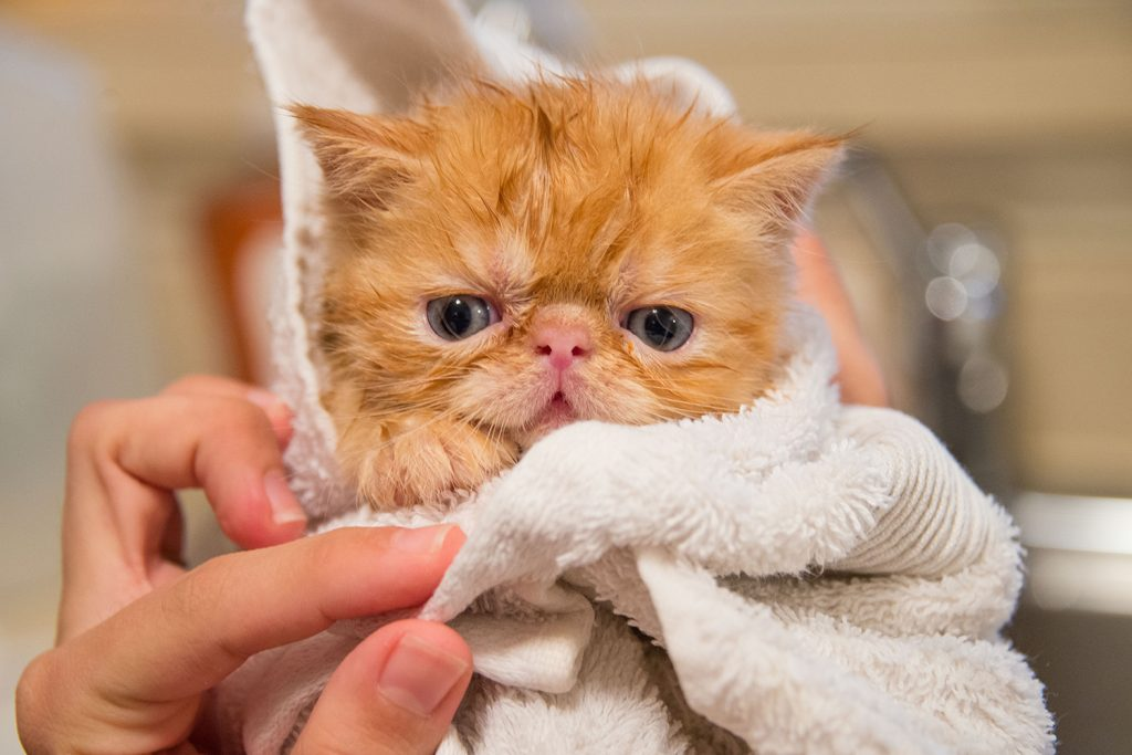 Towel drying a cat after a bath
