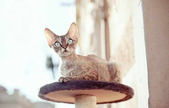 Devonshire Rex cats are known for being hypoallergenic