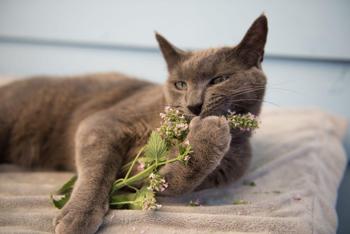 Bannerbild für Blogbeitrag: Was macht Katzenminze (Catnip) mit Deiner Katze?