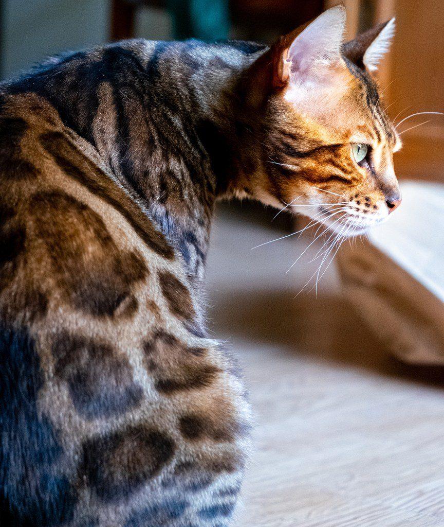 Bengalen sind bei Katzeallergie eher geeignet.