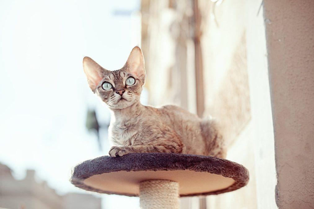 Devonshire Rex-Katzen sind dafür bekannt, hypoallergen zu sein