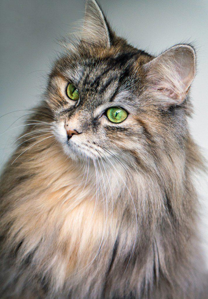Sibirische Katzen gelten als Allergiker freundliche Katzenrasse