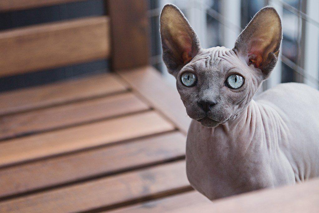 Sphynx Katze für Allergiker