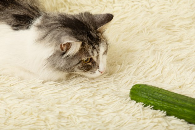 Haben Katzen Angst vor Gurken