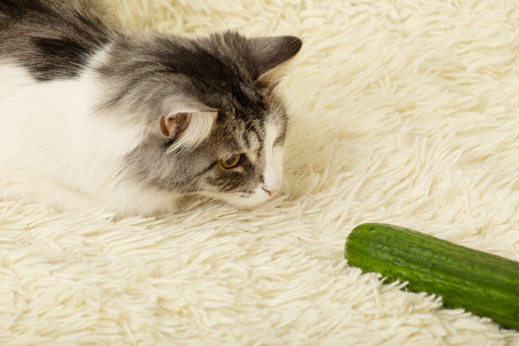 Bannerbild für Blogbeitrag: Haben Katzen Angst vor Gurken? Dies und weitere Internet-Katzen-Phänomene…