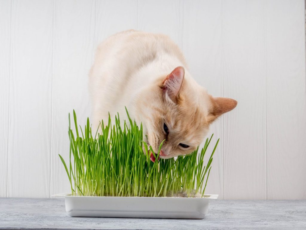 Cat grass is a good investment for indoor cats