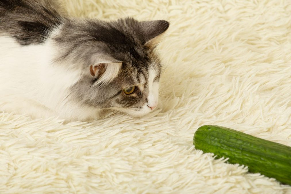 Cats and cucumbers