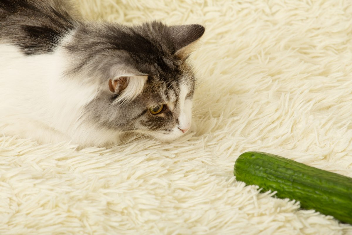 Banner image for blog post: Why are cats scared of cucumbers and other curiousities