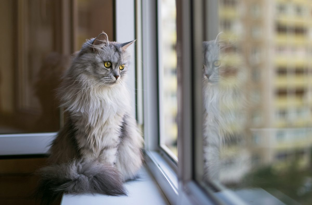 Banner image for blog post: What cat breeds are best for apartment living?