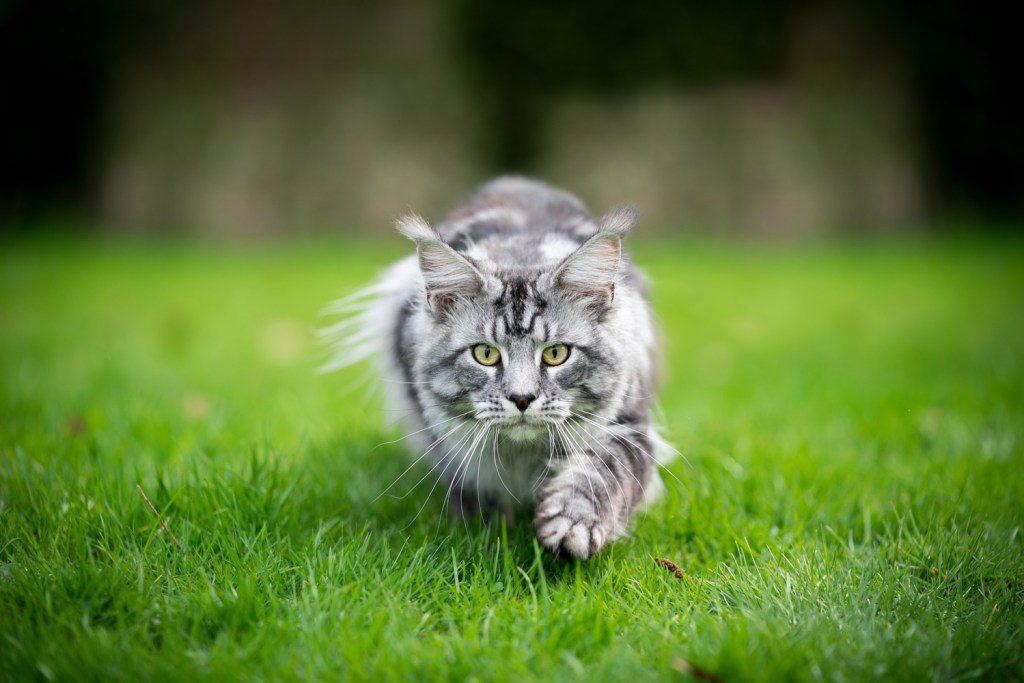 Eine Katze pirscht sich leise an. Katzen sind fantastische Jäger.