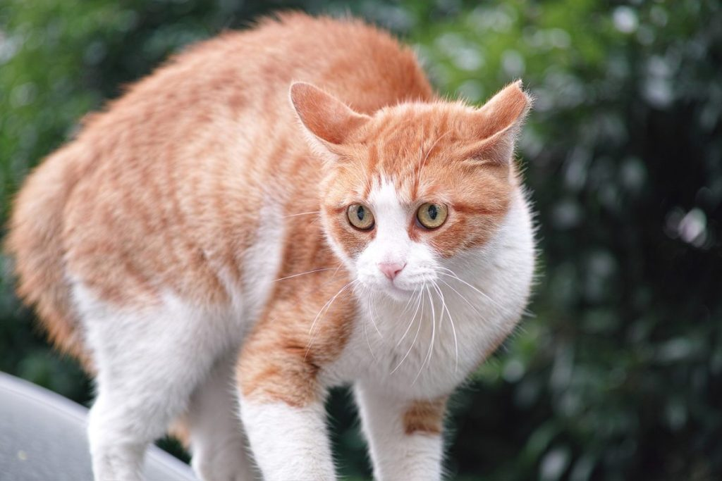 A stiff posture, backwards ears and puffed up tail are signs of an angry or frightened cat