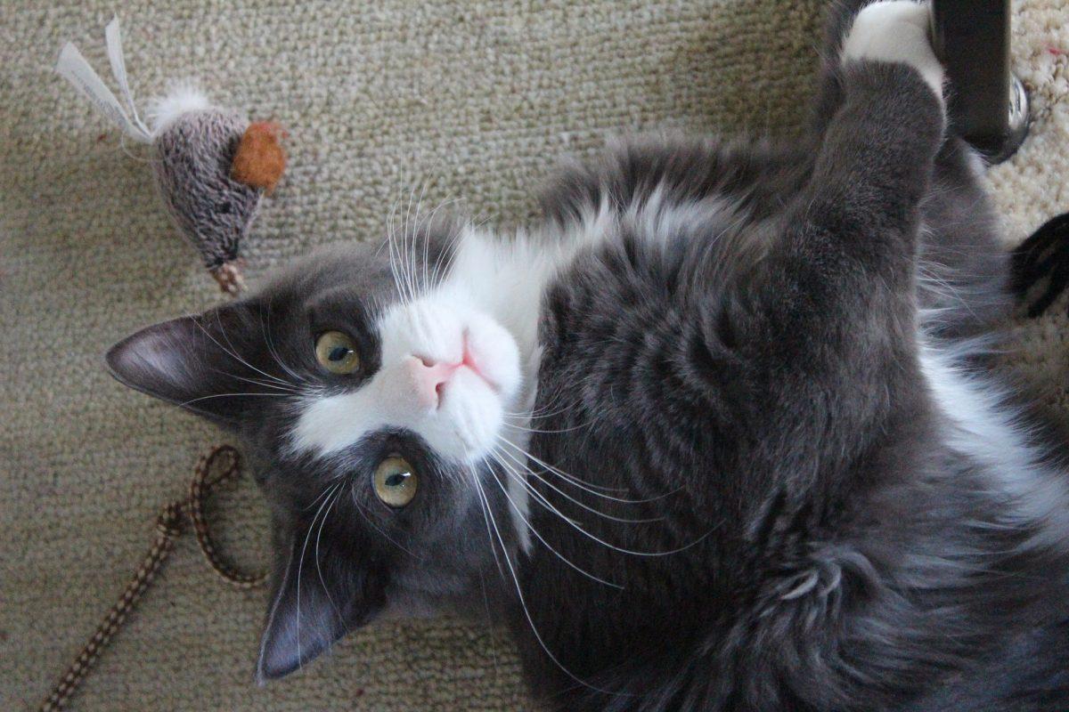 Bannerbild für Blogbeitrag: Mit Katzen spielen – Tipps und Tricks