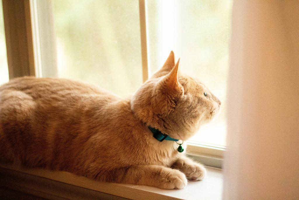 Katze guckt aus dem Fenster und wartet auf Beute.