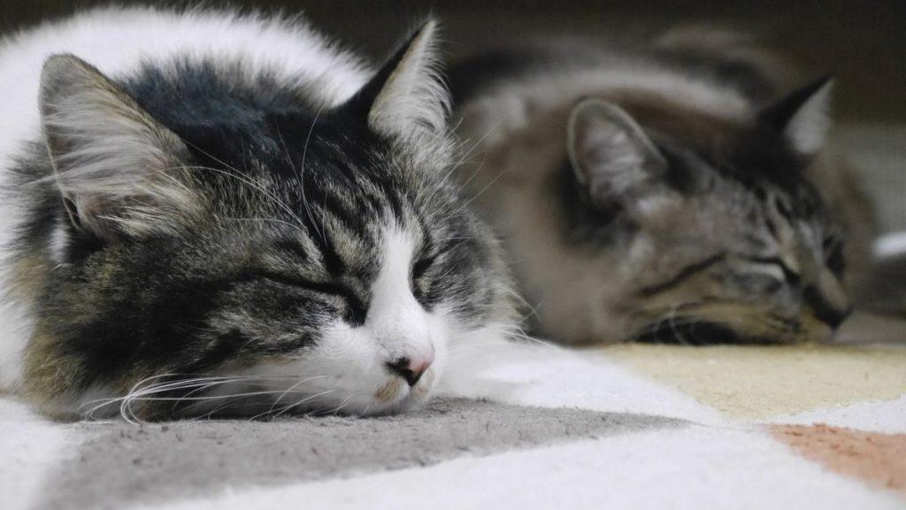 Katzen Vergesellschaftung